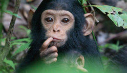 Mahale-chimp-baby