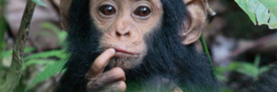 Mahale-chimp-baby
